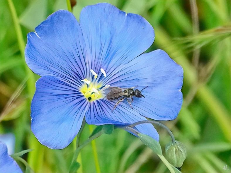 2021-06-01 LüchowSss Garten Echter Lein bzw. Flachs (Linum usitatissimum) + kl. Wildbiene