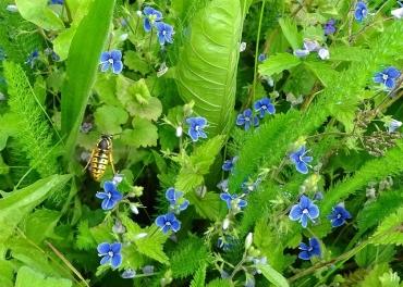 2021-06-01 LüchowSss Garten Gamander-Ehrenpreis (Veronica chamaedrys) + jagende Gemeine Wespe (Vespula vulgaris)