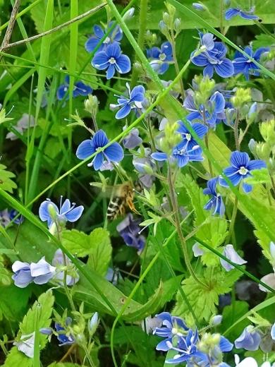 2021-06-01 LüchowSss Garten Gamander-Ehrenpreis (Veronica chamaedrys) + Sandbiene (Andrena spec.)