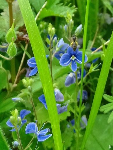 2021-06-01 LüchowSss Garten Gamander-Ehrenpreis (Veronica chamaedrys) + Zwerg-Sandbiene (Andrena minutula-agg.)