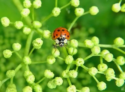 2021-06-02 LüchowSss Garten Asiatischer Marienkäfer (Harmonia axyridis) auf Schwarzem Holunder (Sambucus nigra)