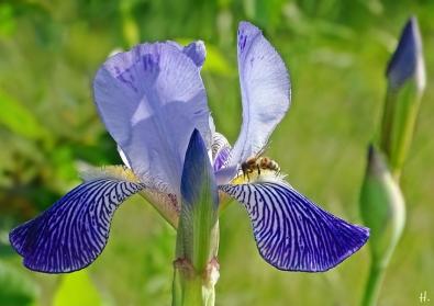 2021-06-02 LüchowSss Garten Bauerngarten-Bartiris (Iris barbata od. Iris x conglomerata) + Honigbiene (Apis mellifera) (1)