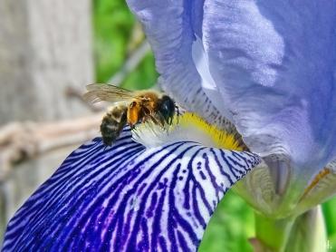 2021-06-02 LüchowSss Garten Bauerngarten-Bartiris (Iris barbata od. Iris x conglomerata) + Zweifarbige Sandbiene (Andrena bicolor)(1)