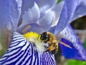 2021-06-02 LüchowSss Garten Bauerngarten-Bartiris (Iris barbata od. Iris x conglomerata) + Zweifarbige Sandbiene (Andrena bicolor)