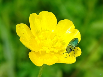 2021-06-02 LüchowSss Garten Glänzender bzw. Zierlicher Blütenprachtkäfer (Anthaxia nitidula, m) + Scharfer Hahnenfuss (Ranunculus acris) (2)