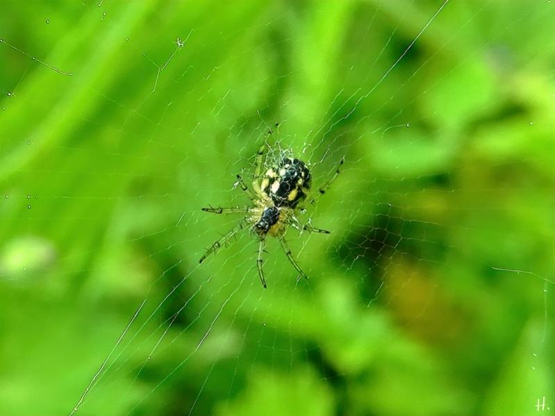 2021-06-02 LüchowSss Garten kleine Spinne, vermutl. Kreuzspinne (Araneus)(2)