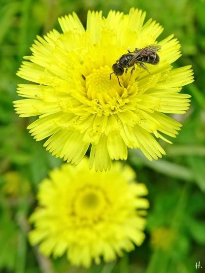 2021-06-02 LüchowSss Garten Mausohr-, Langhaariges od. Kl. Habichtskraut (Hieracium pilosella) + Furchenbiene (3)