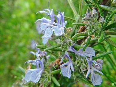2021-06-02 LüchowSss Garten Rosmarin (Salvia rosmarinus) Blüten