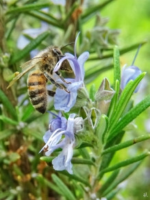 2021-06-02 LüchowSss Garten Rosmarin (Salvia rosmarinus) + Honigbiene (Apis mellifera)