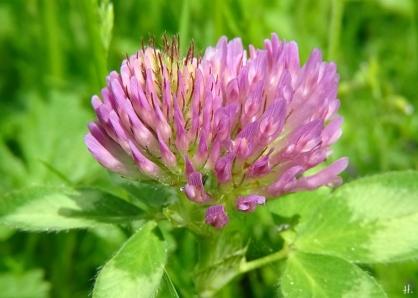 2021-06-02 LüchowSss Garten Rotklee (Trifolium pratense)