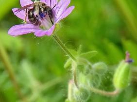 2021-06-02 LüchowSss Garten Weicher Storchenschnabel (Geranium molle) + Scherenbiene (Chelostostoma) (1)