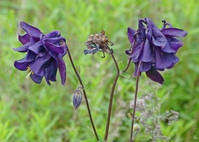 2021-06-03 LüchowSss Garten dunkelviolette Akelei (Aquilegia) gefüllt