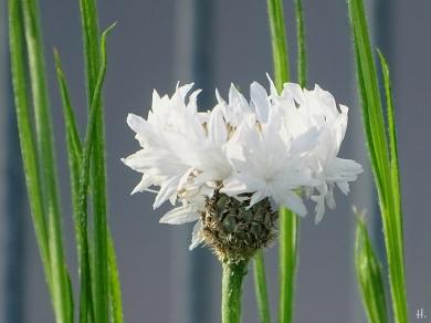 2021-06-03 LüchowSss Garten weisse Kornblume (Centaurea cyaneus) (1)