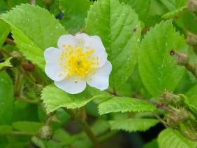 2021-06-04 LüchowSss Garten 1. Blüte einer Vielblütigen Rose (Rosa mulltiflora)