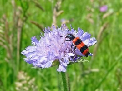 2021-06-04 LüchowSss Garten Acker-Witwenblume (Knautia arvensis) + Gemeiner Bienenkäfer (Trichodes apiarius) (1)