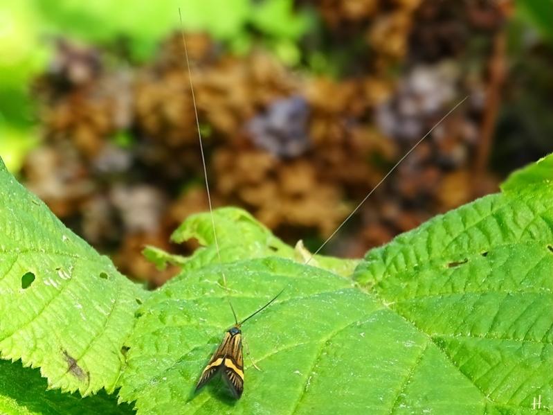 2021-06-04 LüchowSss Garten Degeers Langfühler (Nemophora degeerella), auch Gebänderte Langhornmotte, Männchen