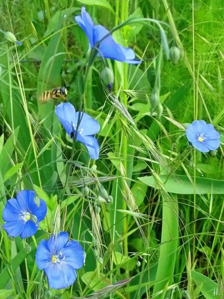 2021-06-04 LüchowSss Garten Gemeine Wespen-Schwebfliege (Chrysotoxum cautum) + Flachs (Linum usitatissimum) (1)
