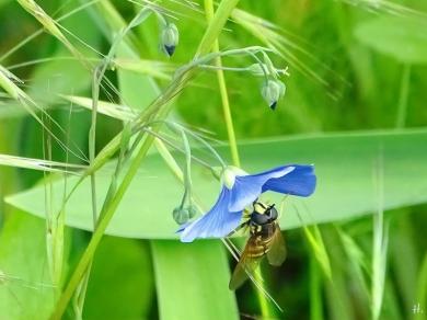 2021-06-04 LüchowSss Garten Gemeine Wespen-Schwebfliege (Chrysotoxum cautum) + Flachs (Linum usitatissimum) (2)