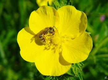 2021-06-04 LüchowSss Garten Hohes Fingerkraut (Potentilla recta) + Gebänderte Furchenbiene (Halictus tumulorum)