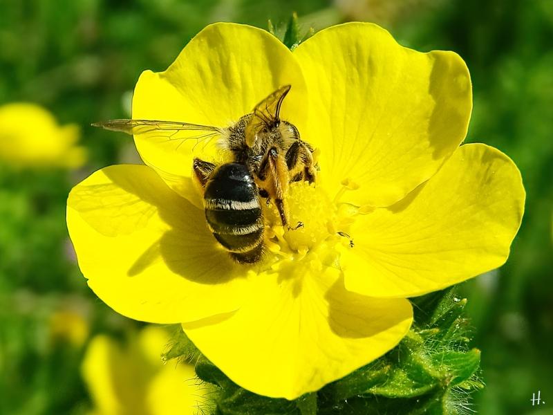 2021-06-04 LüchowSss Garten Hohes Fingerkraut (Potentilla recta) + vermutl. Gewöhnliche Sandbiene (Andrena flavipes)