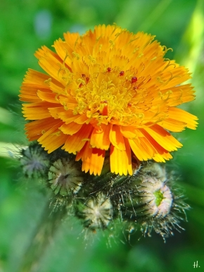 2021-06-04 LüchowSss Garten Orangerotes Habichtskraut (Hieracium aurantiacum) (1)
