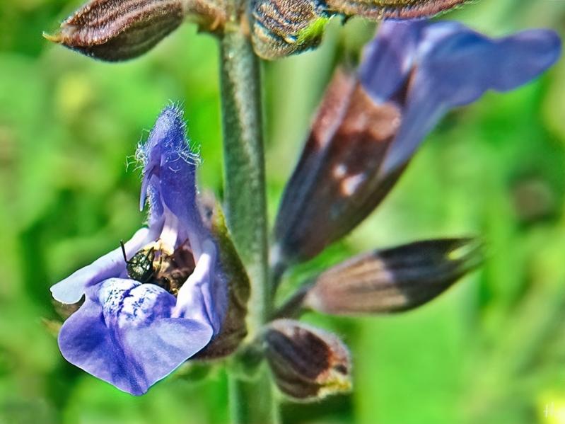 2021-06-04 LüchowSss Garten Salbei (Salbei officinalis) + kl. Wildbiene (1)