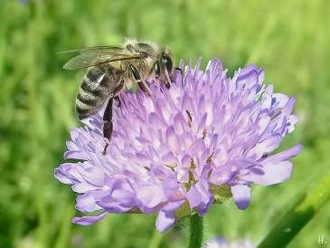 2021-06-05 LüchowSss Garten Acker-Witwenblume (Knautia arvensis) + Honigbiene (Apis mellifera)