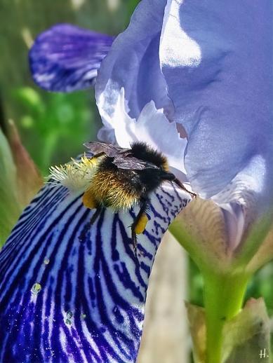 2021-06-05 LüchowSss Garten Bauerngarten-Bartiris (Iris x conglomerata) + Wiesenhummel (Bombus pratorum)