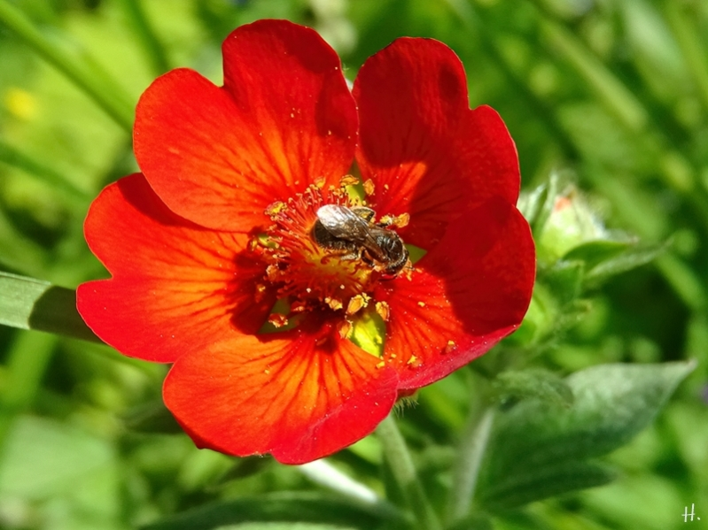 2021-06-05 LüchowSss Garten Blutrotes Fingerkraut (Potentilla atrosanguinea) Himalayan Cinquefoil + kl. Wildbiene
