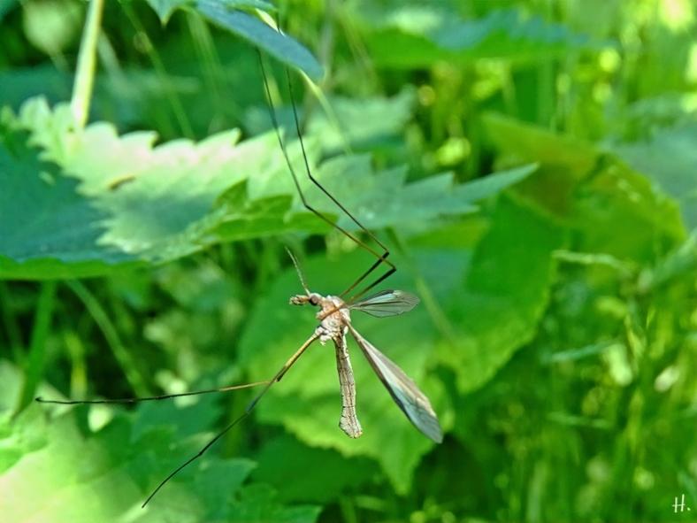 2021-06-05 LüchowSss Garten Kohlschnake (Tipula oleracea) männl.