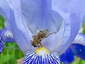 2021-06-06 LüchowSss Garten Bauerngarten-Bartiris (iris conglomerata) + Honigbiene (Apis mellifera)