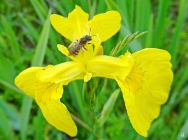 2021-06-06 LüchowSss Garten Sumpf-Schwertlilie bzw. Gelbe Sumpfiris (Iris pseudacorus) + Gebänderte Furchenbiene (Halictus tumulorum)