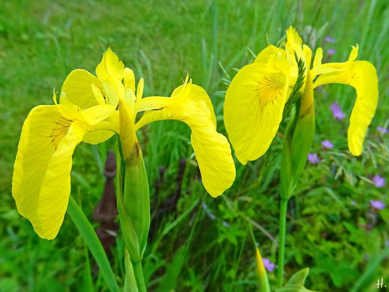 2021-06-06 LüchowSss Garten Sumpf-Schwertlilie bzw. Gelbe Sumpfiris (Iris pseudacorus) im 'Sumpfbottich'