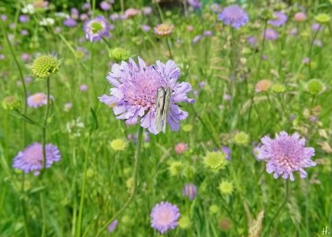 2021-06-07 LüchowSss Garten Acker-Witwenblumen (Knautia arvensis) + Weissling (Pieris spec.)