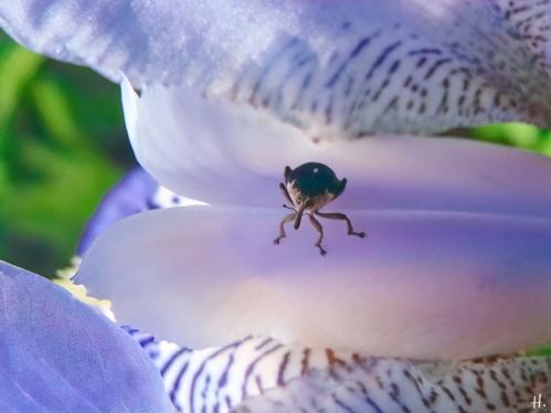 2021-06-07 LüchowSss Garten Bauerngarten-Bartiris, blauviolett +Irisrüssler (Mononychus punctumalbum)
