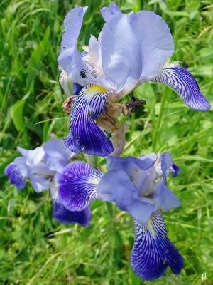 2021-06-07 LüchowSss Garten Bauerngarten-Bartiris (iris x conglomerata) blauviolett + Irisrüssler (Mononychus punctumalbum)
