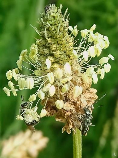 2021-06-07 LüchowSss Garten blühender Spitzwegerich (Plantago lanceolata) + Graugrüne Schenkelkäfer (Oedemera virescens) + Furchenbiene (Lasioglossum)