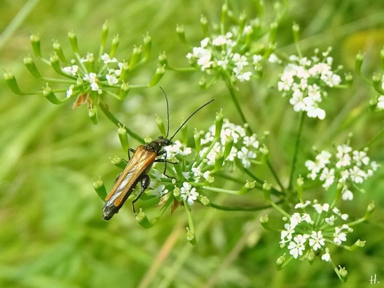 2021-06-07 LüchowSss Garten Hundspetersilie (Aethusa cynapium) + Gemeiner Scheinbockkäfer(Oedemera femorata) männlich