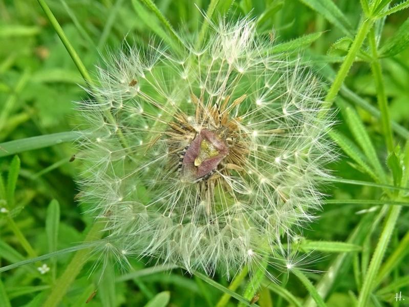 2021-06-07 LüchowSss Garten Löwenzahn-(Taraxacum officinalis)-Pusteblume + Beerenwanze (Dolycoris baccarum)