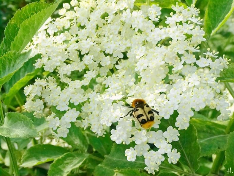 2021-06-07 LüchowSss Garten Schwarzer Holunder (Sambucus nigra) + Pinselkäfer (Trichius spec.)