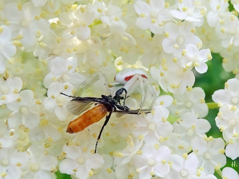 2021-06-07 LüchowSss Garten Schwarzer Holunder (Sambucus nigra) + Veränderliche Krabbenspinne (Misumena vatia) + Beuteinsekt (2)