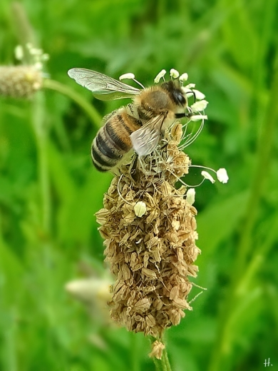 2021-06-07 LüchowSss Garten Spitzwegerich (Plantago lanceolata) + Honigbiene (Apis mellifera)