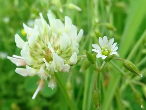 Weissklee (Trifolium repens) + Acker-Hornkraut (Cerastium arvense)