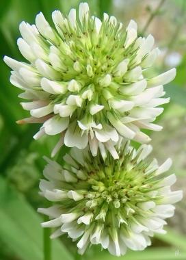 2021-06-07 LüchowSss Garten Weissklee (Trifolium repens) (3)