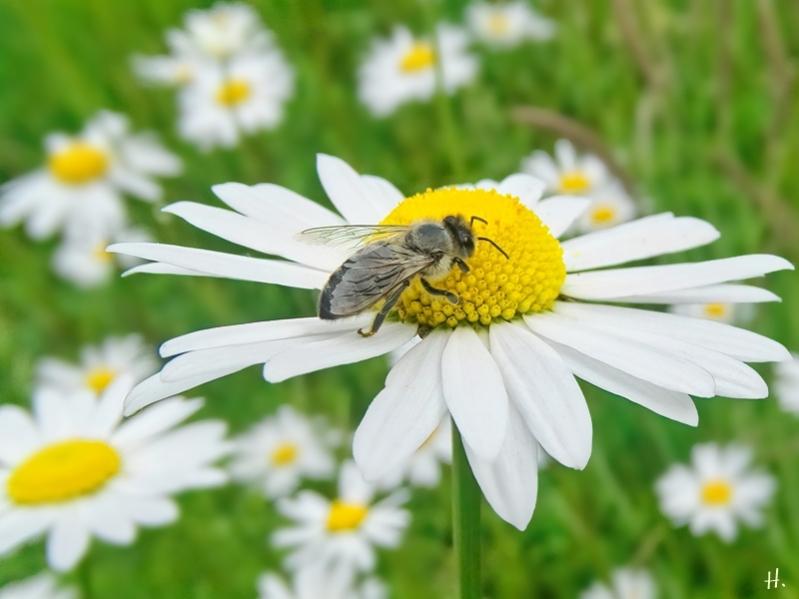 2021-06-07 LüchowSss Garten Wiesen-Margerite (Leucanthemum vulgare) + Honigbiene (Apis mellifera)