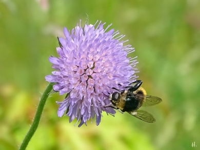 2021-06-08 LüchowSss Garten Acker-Witwenblume (Knautia arvensis) + Hummel-Waldschwebfliege (Volucella bombylans var. bombylans)