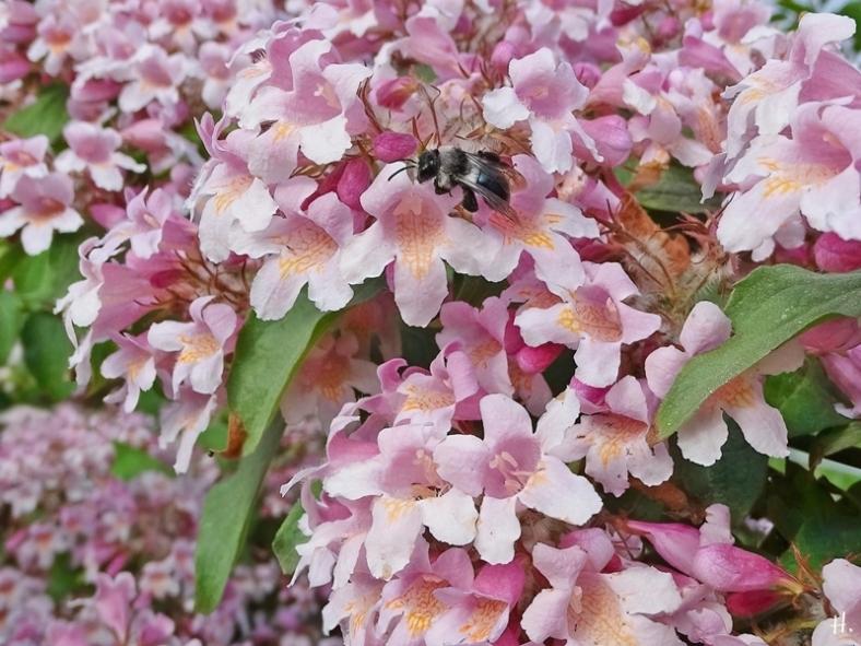 2021-06-08 LüchowSss Garten Perlmuttstrauch (Kolkwitzia amabilis) + Grauschwarze Düstersandbiene (Andrena cineraria)