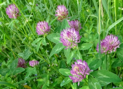 2021-06-08 LüchowSss Garten Rotklee (Trifolium pratense)