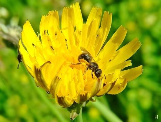 2021-06-09 Lüchow Sss Garten Ferkelkraut ( Hypochaeris radicata) + kl. Wildbiene + weitere, kleinere Insekten