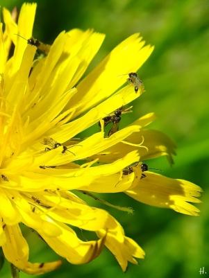 2021-06-09 Lüchow Sss Garten Ferkelkraut ( Hypochaeris radicata) + viele kl. Wespen (1A)